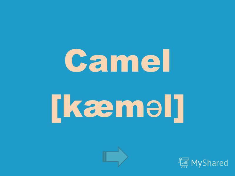 Camel [kæm ə l]