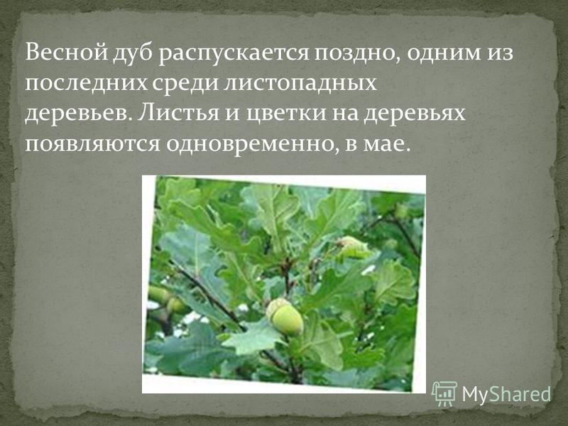 Весной дуб распускается поздно, одним из последних среди листопадных деревьев. Листья и цветки на деревьях появляются одновременно, в мае.