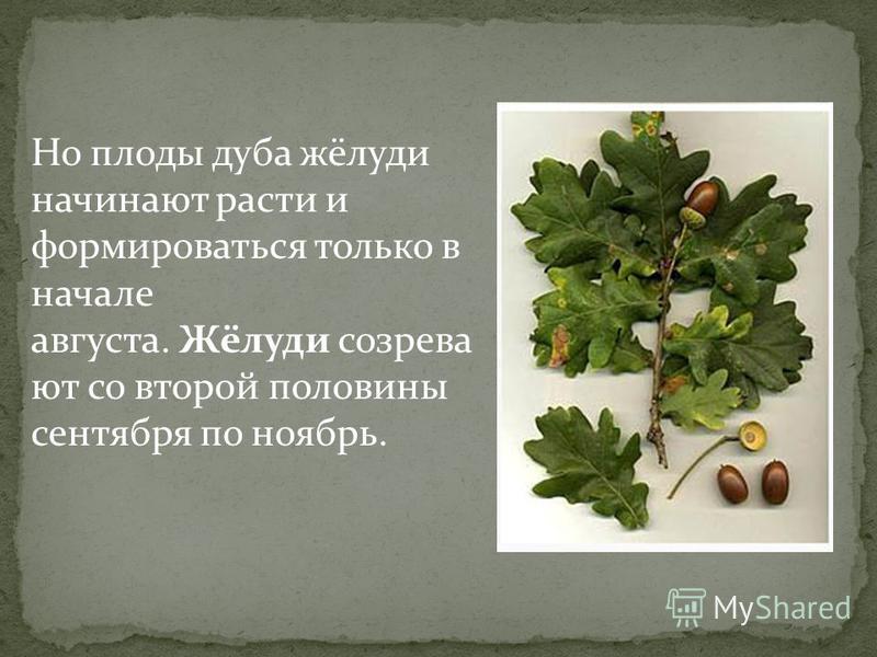 Но плоды дуба жёлуди начинают расти и формироваться только в начале августа. Жёлуди созревают со второй половины сентября по ноябрь.
