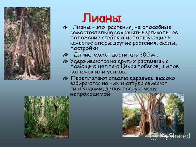 Лианы Лианы – это растения, не способные самостоятельно сохранять вертикальное положение стебля и использующие в качестве опоры другие растения, скалы, постройки. Длина может достигать 300 м. Удерживаются на других растениях с помощью цепляющихся поб