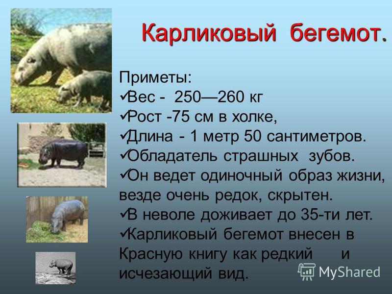 Карликовый бегемот. Приметы: Вес - 250260 кг Рост -75 см в холке, Длина - 1 метр 50 сантиметров. Обладатель страшных зубов. Он ведет одиночный образ жизни, везде очень редок, скрытен. В неволе доживает до 35-ти лет. Карликовый бегемот внесен в Красну