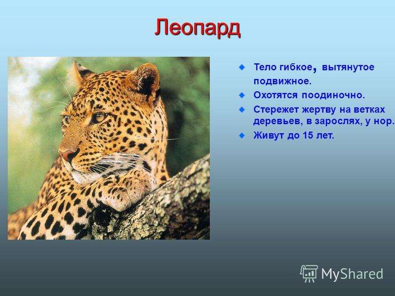 Леопард Тело гибкое, вытянутое подвижное. Охотятся по одиночно. Стережет жертву на ветках деревьев, в зарослях, у нор. Живут до 15 лет.