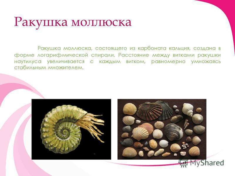 Ракушка моллюска Ракушка моллюска, состоящего из карбоната кальция, создана в форме логарифмической спирали. Расстояние между витками ракушки наутилуса увеличивается с каждым витком, равномерно умножаясь стабильным множителем.