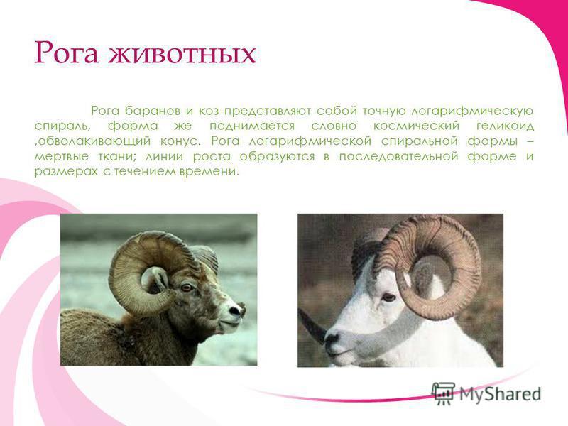 Рога животных Рога баранов и коз представляют собой точную логарифмическую спираль, форма же поднимается словно космический геликоид,обволакивающий конус. Рога логарифмической спиральной формы – мертвые ткани; линии роста образуются в последовательно