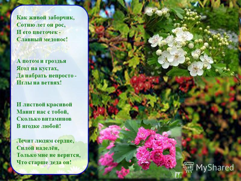 Как живой заборчик, Сотню лет он рос, И его цветочек - Славный медонос! А потом и гроздья Ягод на кустах, Да набрать непросто - Иглы на ветвях! И листвой красивой Манит нас с тобой, Сколько витаминов В ягодке любой! Лечит людям сердце, Силой наделён,