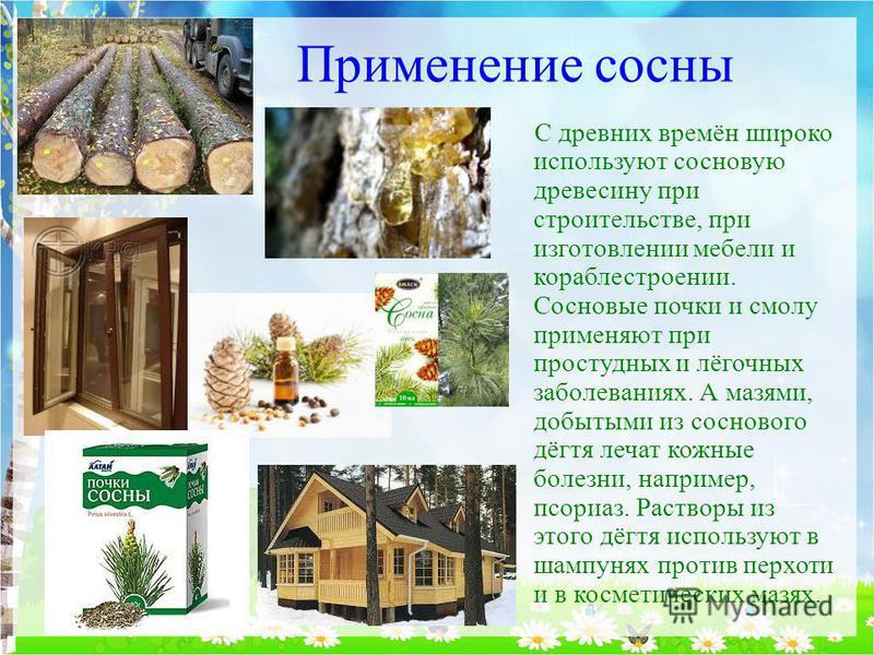 Применение сосны С древних времён широко используют сосновую древесину при строительстве, при изготовлении мебели и кораблестроении. Сосновые почки и смолу применяют при простудных и лёгочных заболеваниях. А мазями, добытыми из соснового дёгтя лечат