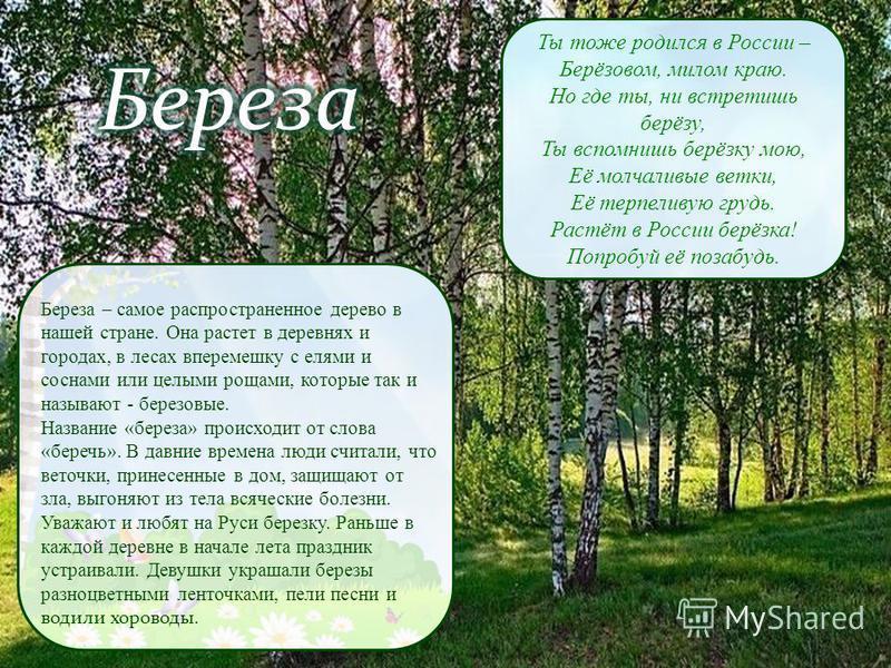 Ты тоже родился в России – Берёзовом, милом краю. Но где ты, ни встретишь берёзу, Ты вспомнишь берёзку мою, Её молчаливые ветки, Её терпеливую грудь. Растёт в России берёзка! Попробуй её позабудь. Береза – самое распространенное дерево в нашей стране