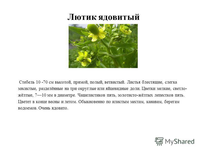 Стебель 10 -70 см высотой, прямой, полый, ветвистый. Листья блестящие, слегка мясистые, разделённые на три округлые или яйцевидные доли. Цветки мелкие, светло- жёлтые, 710 мм в диаметре. Чашелистиков пять, золотисто-жёлтых лепестков пять. Цветет в ко