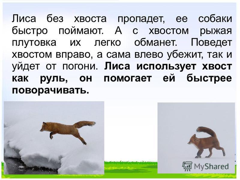 Лиса без хвоста пропадет, ее собаки быстро поймают. А с хвостом рыжая плутовка их легко обманет. Поведет хвостом вправо, а сама влево убежит, так и уйдет от погони. Лиса использует хвост как руль, он помогает ей быстрее поворачивать.