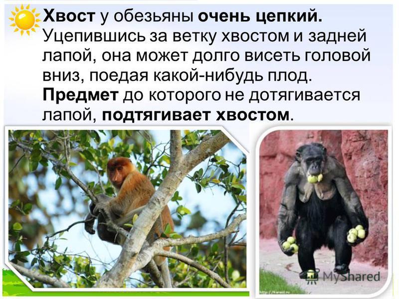 Хвост у обезьяны очень цепкий. Уцепившись за ветку хвостом и задней лапой, она может долго висеть головой вниз, поедая какой-нибудь плод. Предмет до которого не дотягивается лапой, подтягивает хвостом.