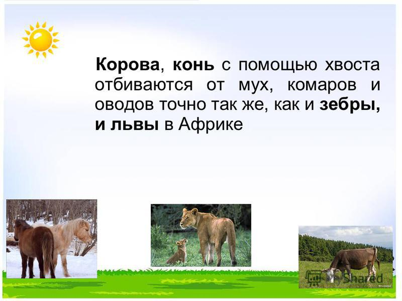 Корова, конь с помощью хвоста отбиваются от мух, комаров и оводов точно так же, как и зебры, и львы в Африке