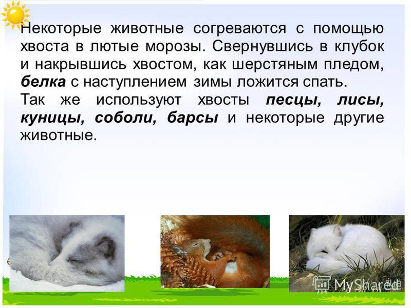 Некоторые животные согреваются с помощью хвоста в лютые морозы. Свернувшись в клубок и накрывшись хвостом, как шерстяным пледом, белка с наступлением зимы ложится спать. Так же используют хвосты песцы, лисы, куницы, соболи, барсы и некоторые другие ж