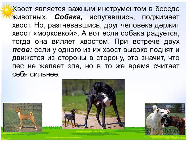 Хвост является важным инструментом в беседе животных. Собака, испугавшись, поджимает хвост. Но, разгневавшись, друг человека держит хвост «морковкой». А вот если собака радуется, тогда она виляет хвостом. При встрече двух псов: если у одного из их хв