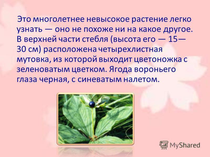 Это многолетнее невысокое растение легко узнать оно не похоже ни на какое другое. В верхней части стебля (высота его 15 30 см) расположена четырехлистная мутовека, из которой выходит цветоножка с зеленоватым цветком. Ягода воротньего глаза черная, с