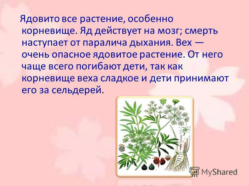 Ядовито все растение, особенно корневище. Яд действует на мозг; смерть наступает от паралича дыхания. Вех очень опасное ядовитое растение. От него чаще всего погибают дети, так как корневище веха сладкое и дети принимают его за сельдерей.