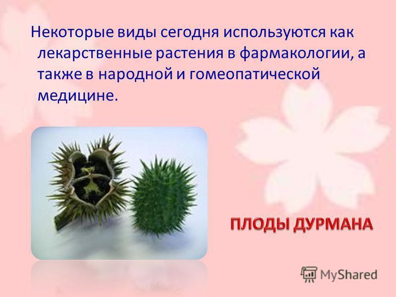 Некоторые виды сегодня используются как лекарственные растения в фармакологии, а также в народной и гомеопатической медицине.
