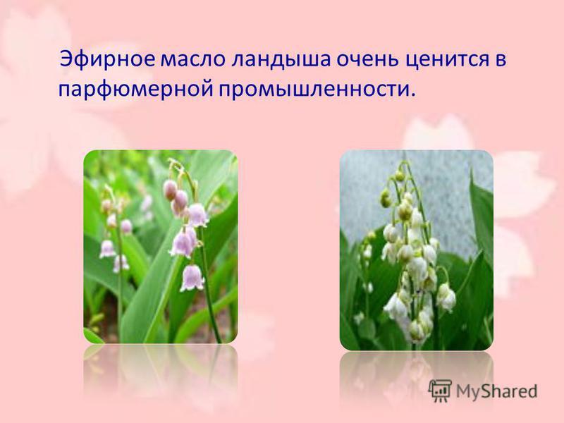 Эфирное масло ландыша очень ценится в парфюмерной промышленности.