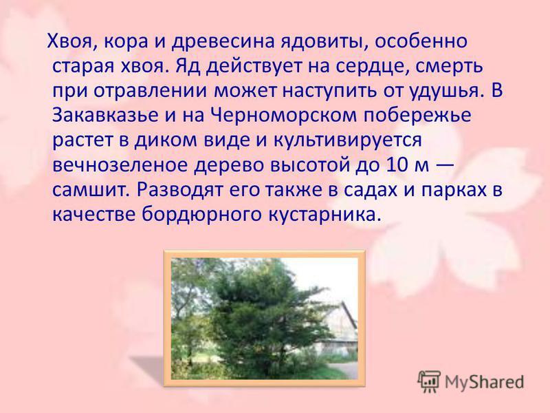 Хвоя, кора и древесина ядовиты, особенно старая хвоя. Яд действует на сердце, смерть при отравлении может наступить от удушья. В Закавеказье и на Черноморском побережье растет в диком виде и культивируется вечнозеленое дерево высотой до 10 м самшит.