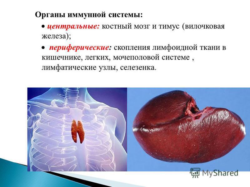 Органы иммунной системы: центральные: костный мозг и тимус (вилочковая железа); периферические: скопления лимфоидной ткани в кишечнике, легких, мочеполовой системе, лимфатические узлы, селезенка.
