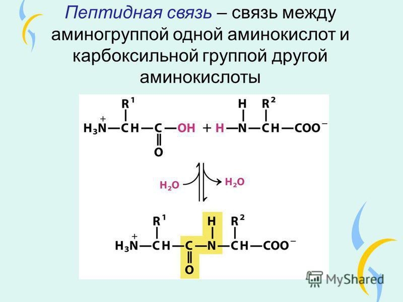 Пептидная связь – связь между аминогруппой одной аминокислот и карбоксильной группой другой аминокислоты