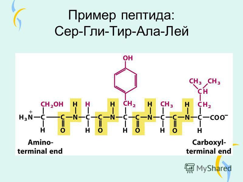 Пример пептида: Сер-Гли-Тир-Ала-Лей