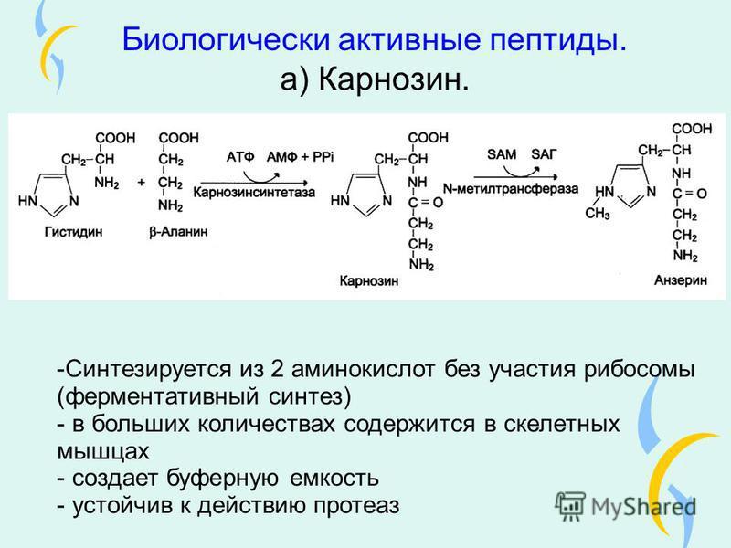 Биологически активные пептиды. а) Карнозин. -Синтезируется из 2 аминокислот без участия рибосомы (ферментативный синтез) - в больших количествах содержится в скелетных мышцах - создает буферную емкость - устойчив к действию протеаз