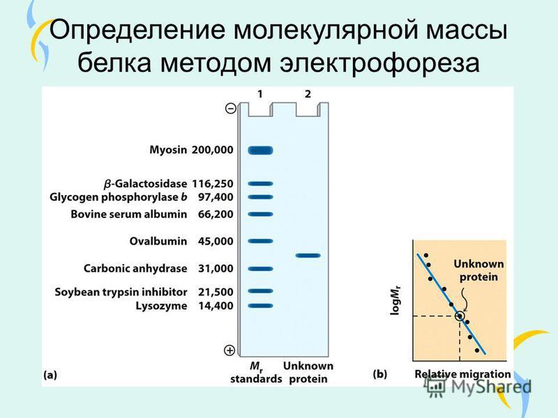 Определение молекулярной массы белка методом электрофореза