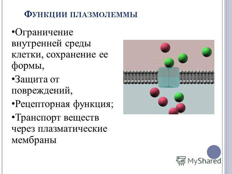 Ф УНКЦИИ ПЛАЗМОЛЕММЫ Ограничение внутренней среды клетки, сохранение ее формы, Защита от повреждений, Рецепторная функция; Транспорт веществ через плазматические мембраны