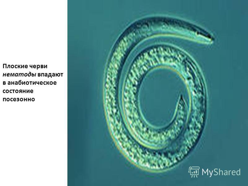 Плоские черви нематоды впадают в анабиотическое состояние посезонно
