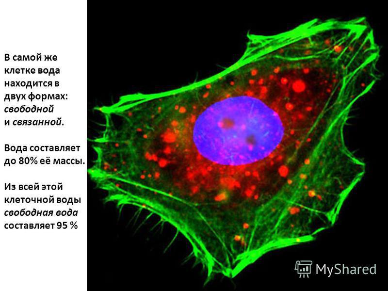 В самой же клетке вода находится в двух формах: свободной и связанной. Вода составляет до 80% её массы. Из всей этой клеточной воды свободная вода составляет 95 %