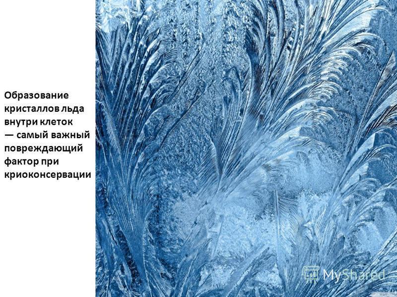 Образование кристаллов льда внутри клеток самый важный повреждающий фактор при криоконсервации