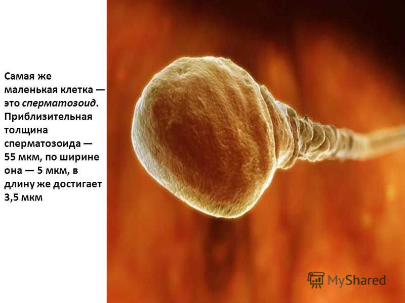 Самая же маленькая клетка это сперматозоид. Приблизительная толщина сперматозоида 55 мкм, по ширине она 5 мкм, в длину же достигает 3,5 мкм