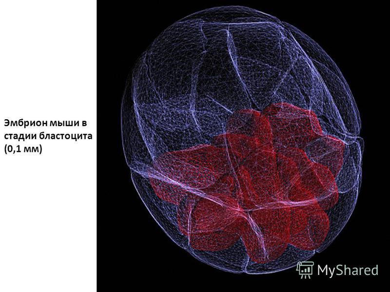 Эмбрион мыши в стадии бластоцита (0,1 мм)