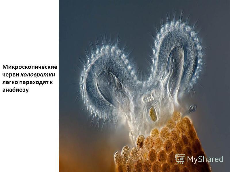 Микроскопические черви коловратки легко переходят к анабиозу