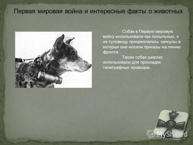 Собак в Первую мировую войну использовали как посыльных, к их туловищу прикреплялись капсулы в которых они носили приказы на линию фронта. Также собак широко использовали для прокладки телеграфных проводов. Первая мировая война и интересные факты о ж