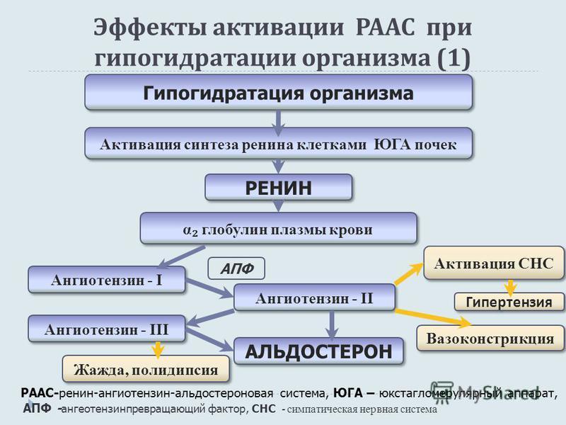 Эффекты активации РААС при гипогидратации организма (1) РААС-ренин-ангиотензин-альдостероновая система, ЮГА – юкстагломерулярный аппарат, АПФ - ангеотензинпревращающий фактор, СНС - симпатическая нервная система Гипогидратация организма Активация син