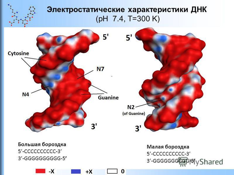 Электростатические характеристики ДНК (pH 7.4, T=300 K) Большая бороздка 5-CCCCCCCCCC-3 3-GGGGGGGGGG-5 Малая бороздка 5-CCCCCCCCCC-3 3-GGGGGGGGGG-5