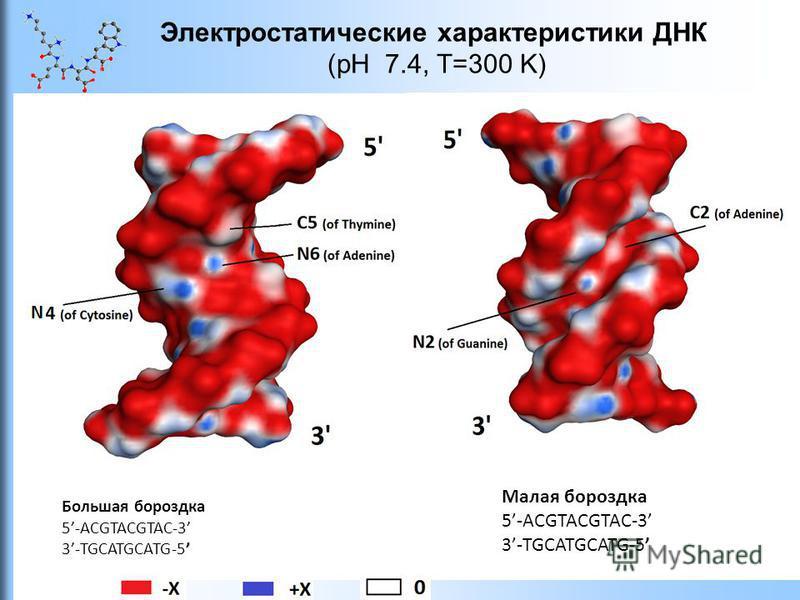 Электростатические характеристики ДНК (pH 7.4, T=300 K) Большая бороздка 5-ACGTACGTAC-3 3-TGCATGCATG-5 Малая бороздка 5-ACGTACGTAC-3 3-TGCATGCATG-5