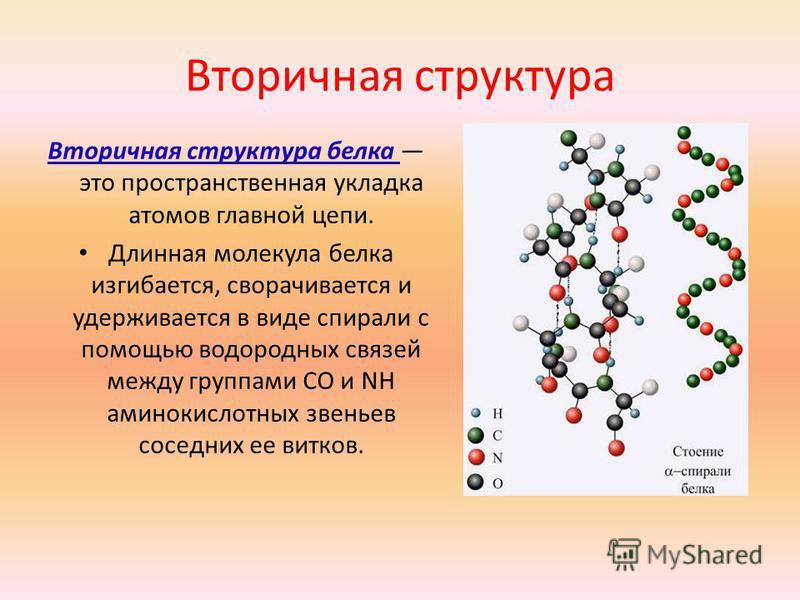 Вторичная структура Вторичная структура белка это пространственная укладка атомов главной цепи. Длинная молекула белка изгибается, сворачивается и удерживается в виде спирали с помощью водородных связей между группами CO и NH аминокислотных звеньев с