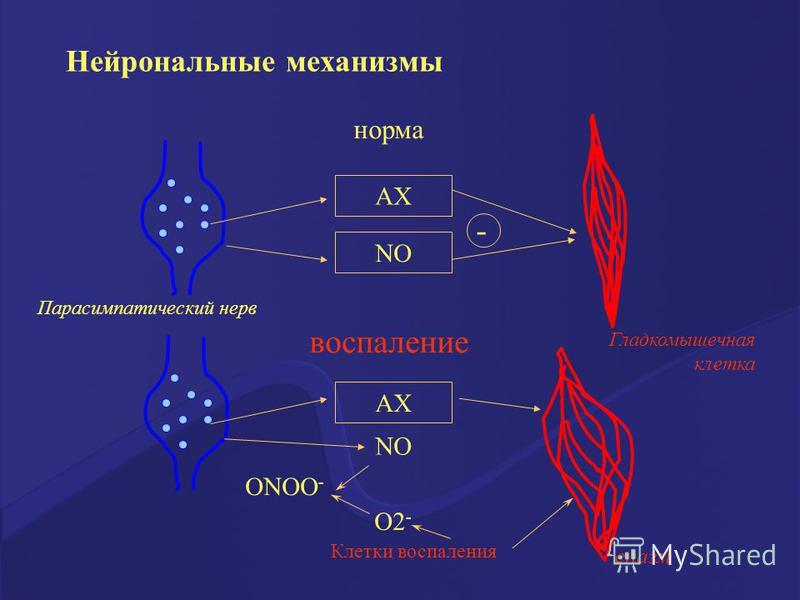 норма воспаление АХ NO - Парасимпатический нерв Гладкомышечная клетка АХ NO ОNOО - О2 - Клетки воспаления спазм Нейрональные механизмы