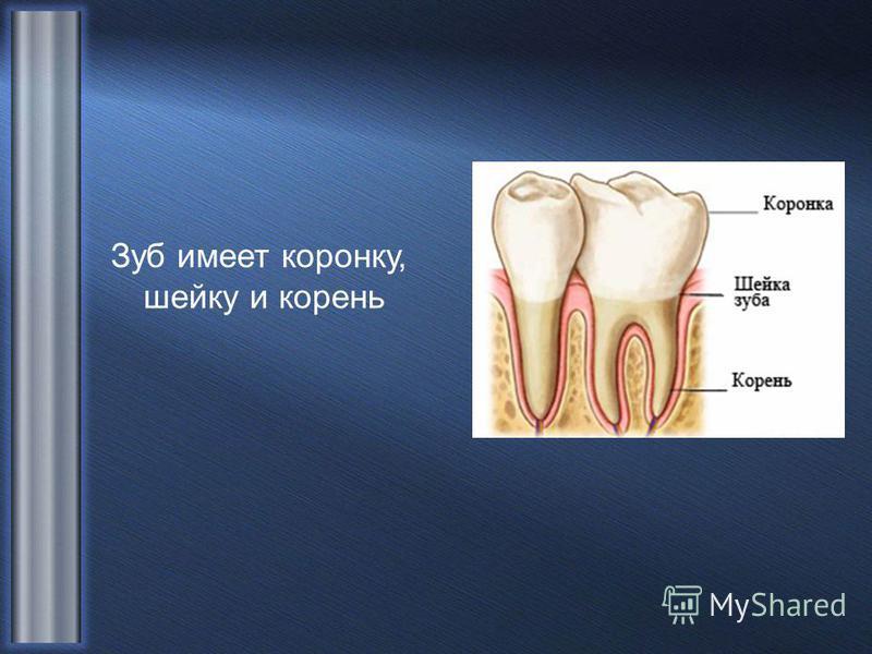 Зуб имеет коронку, шейку и корень