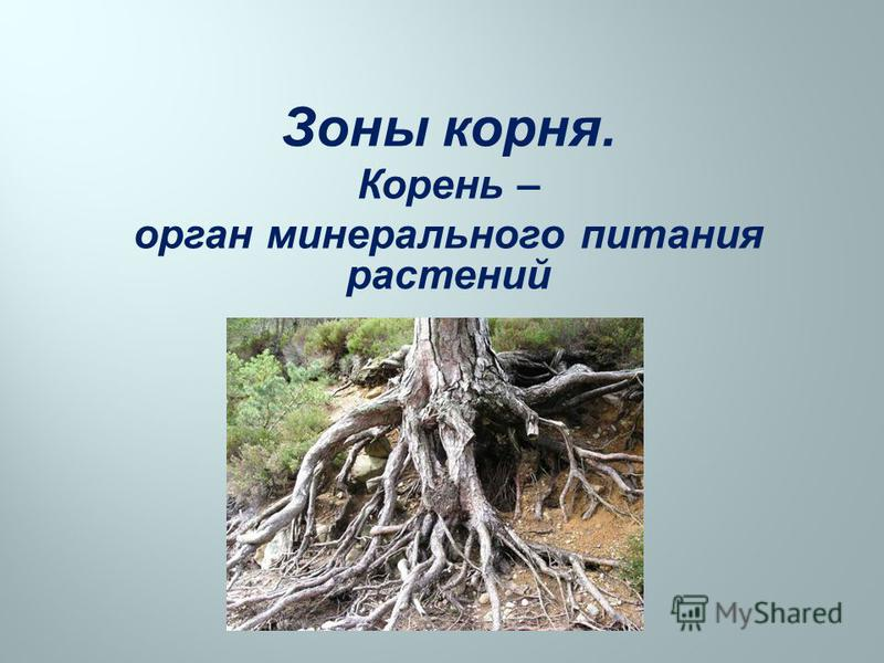 Зоны корня. Корень – орган минерального питания растений