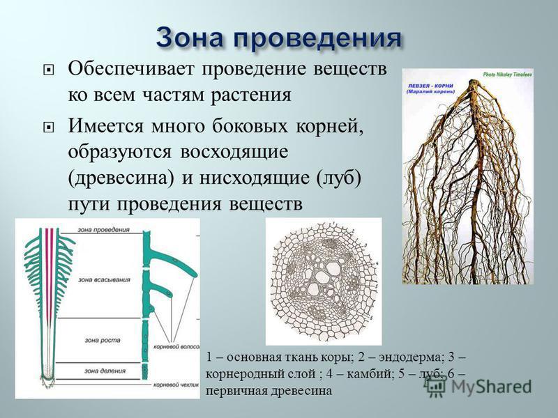 Обеспечивает проведение веществ ко всем частям растения Имеется много боковых корней, образуются восходящие ( древесина ) и нисходящие ( луб ) пути проведения веществ 1 – основная ткань коры ; 2 – эндодерма ; 3 – корнеродный слой ; 4 – камбий ; 5 – л