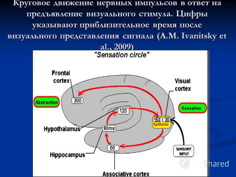Круговое движение нервных импульсов в ответ на предъявление визуального стимула. Цифры указывают приблизительное время после визуального представления сигнала (A.M. Ivanitsky et al., 2009)
