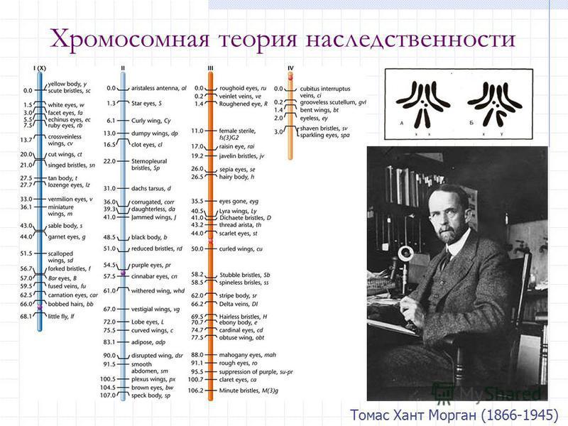 Хромосомная теория наследственности Томас Хант Морган (1866-1945)