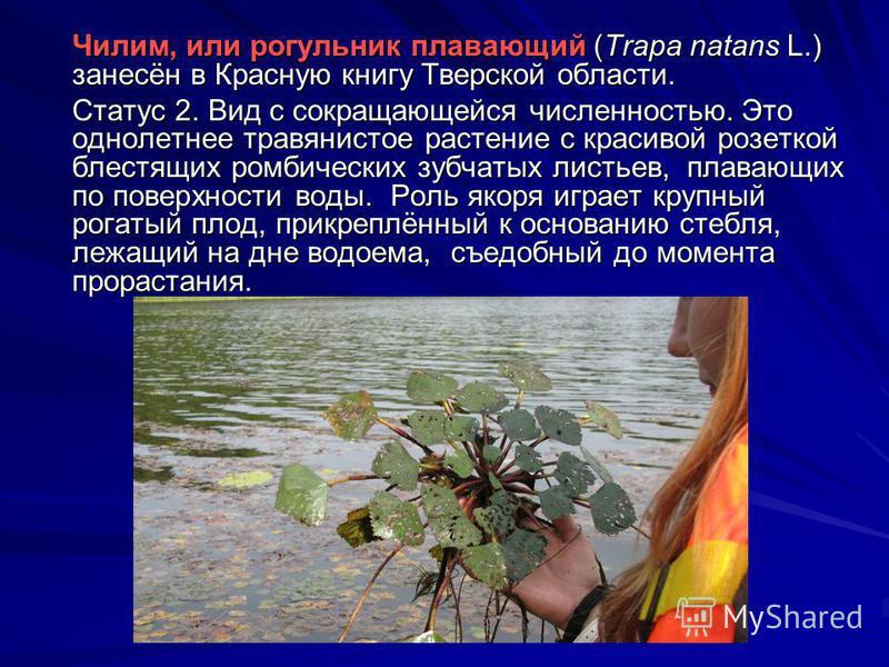Чилим, или рогульник плавающий (Trapa natans L.) занесён в Красную книгу Тверской области. Статус 2. Вид с сокращающейся численностью. Это однолетнее травянистое растение с красивой розеткой блестящих ромбических зубчатых листьев, плавающих по поверх