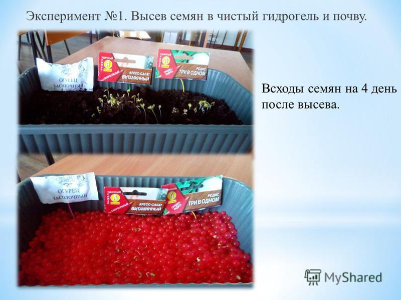 Эксперимент 1. Высев семян в чистый гидрогель и почву. Всходы семян на 4 день после высева.