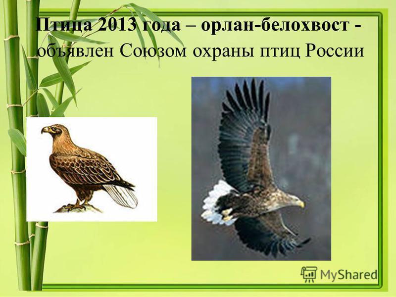 Птица 2013 года – орлан-белохвост - объявлен Союзом охраны птиц России