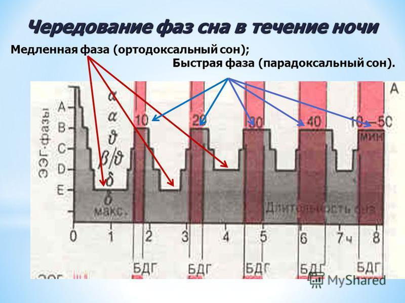 Чередование фаз сна в течение ночи Медленная фаза (ортодоксальный сон); Быстрая фаза (парадоксальный сон).