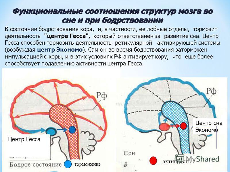 Функциональные соотношения структур мозга во сне и при бодрствовании торможение активность Центр сна Экономо Центр Гесса В состоянии бодрствования кора, и, в частности, ее лобные отделы, тормозит деятельность